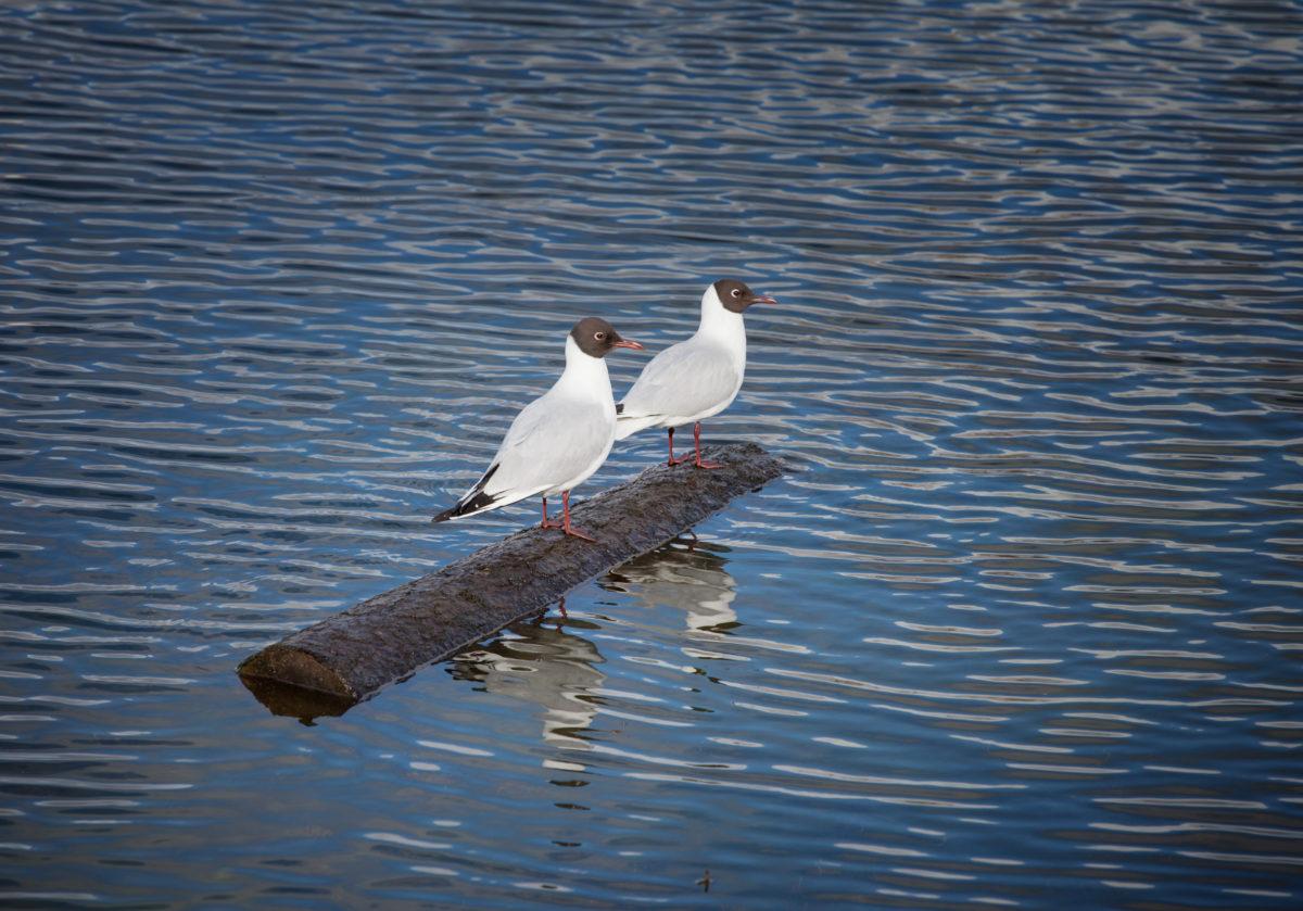 Чайки. Асимметрия отношений
